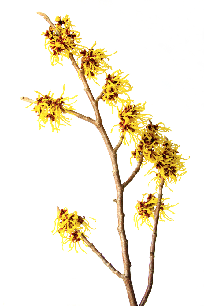 Wash Your Face With Witch Hazel